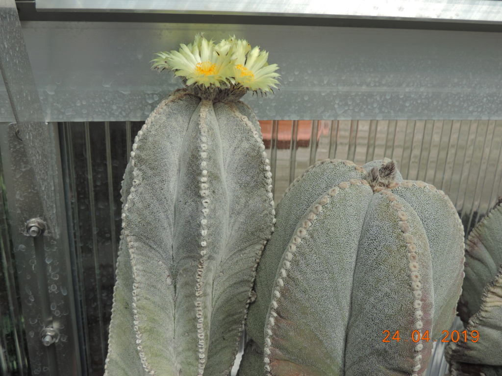 Cacti and Sukkulent in Köln, every day new flowers in the greenhouse Part 212 1/2 Bild2841