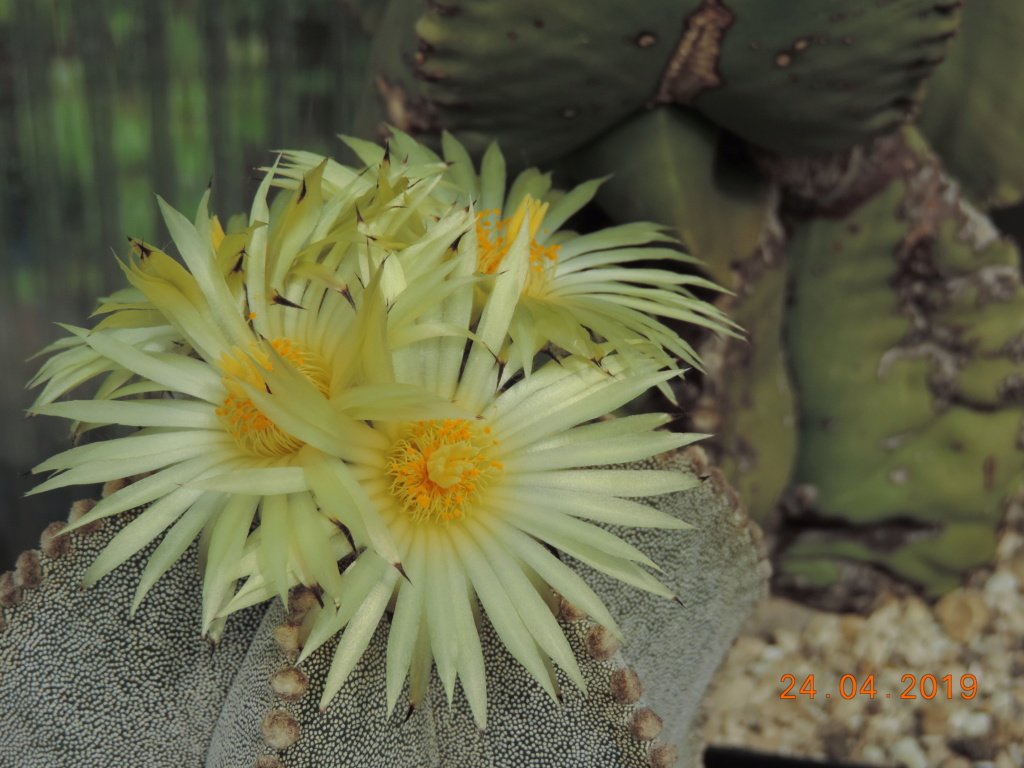 Cacti and Sukkulent in Köln, every day new flowers in the greenhouse Part 212 1/2 Bild2843