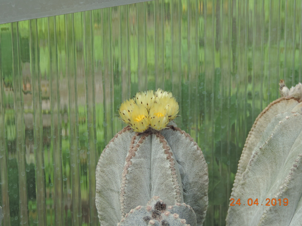 Cacti and Sukkulent in Köln, every day new flowers in the greenhouse Part 212 1/2 Bild2844