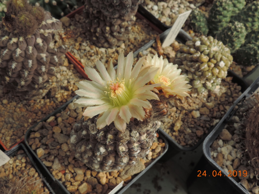 Cacti and Sukkulent in Köln, every day new flowers in the greenhouse Part 212 1/2 Bild2853