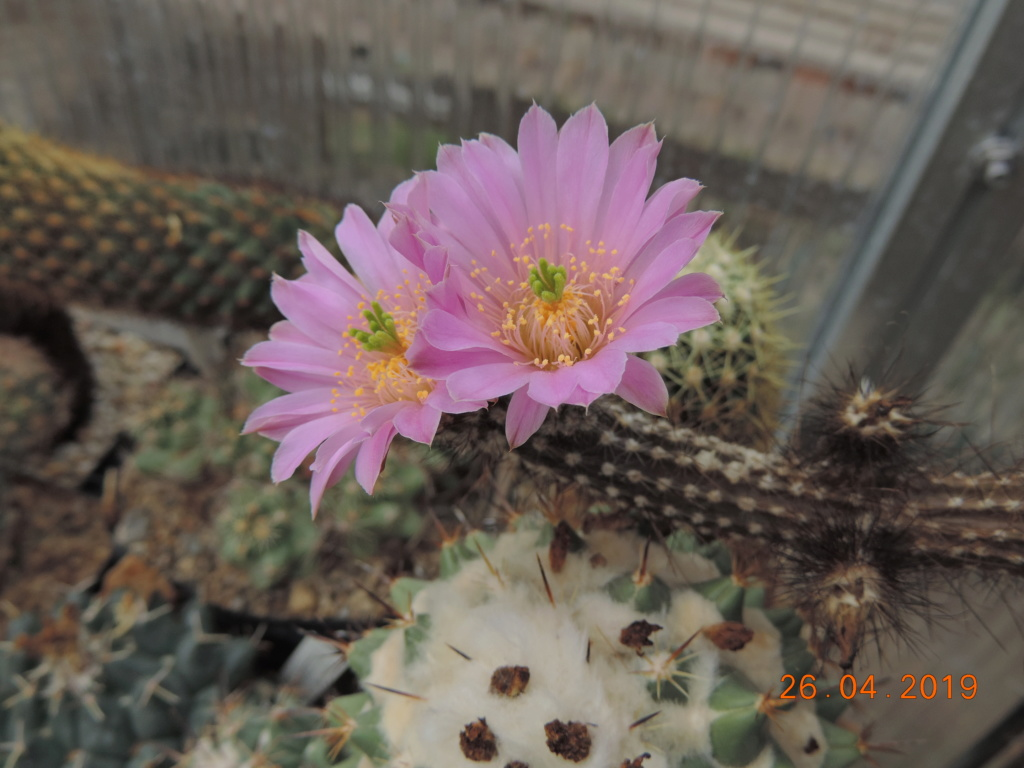 Cacti and Sukkulent in Köln, every day new flowers in the greenhouse Part 214 Bild2909