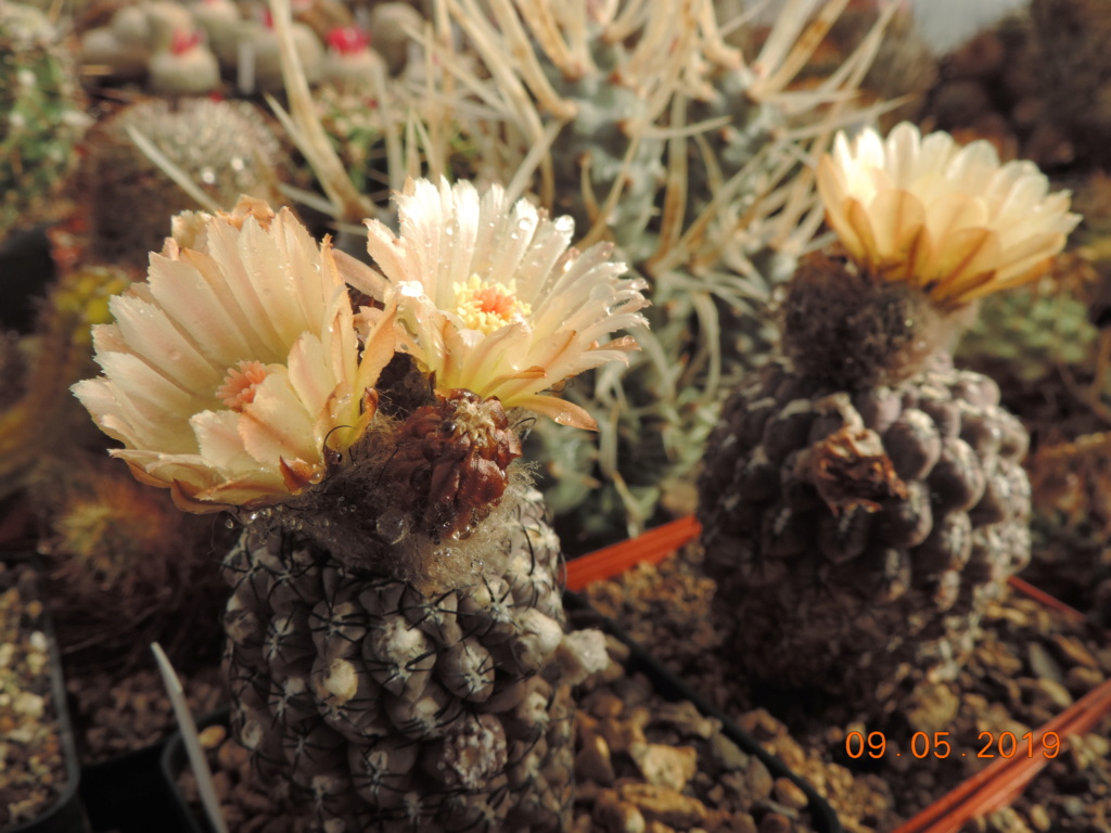 Cacti and Sukkulent in Köln, every day new flowers in the greenhouse Part 214 Bild3013