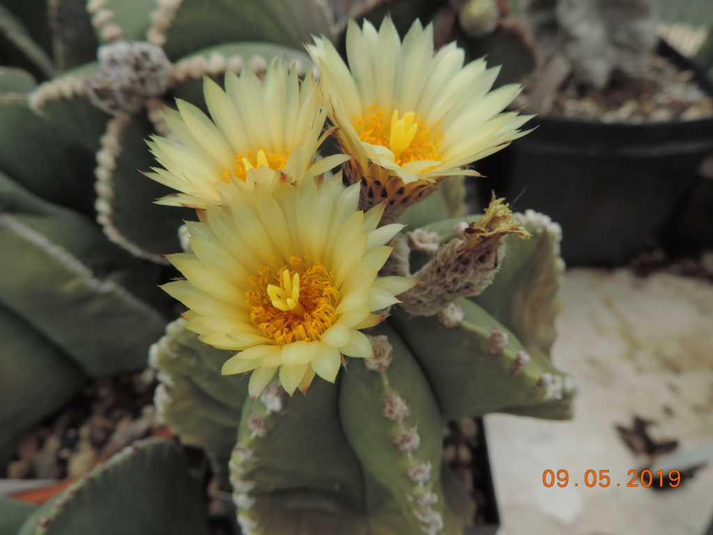 Cacti and Sukkulent in Köln, every day new flowers in the greenhouse Part 214 Bild3016