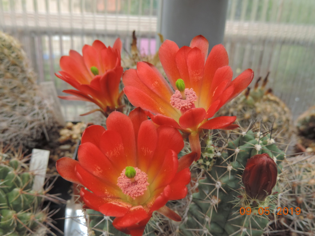 Cacti and Sukkulent in Köln, every day new flowers in the greenhouse Part 214 Bild3017