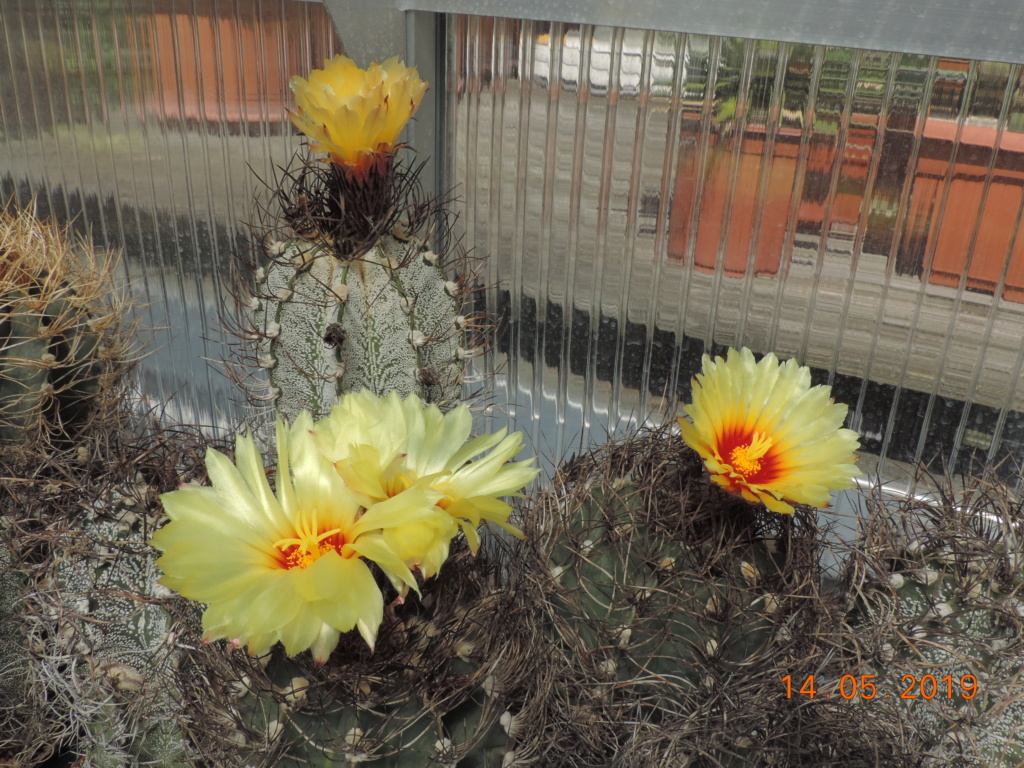 Cacti and Sukkulent in Köln, every day new flowers in the greenhouse Part 215 Bild3074