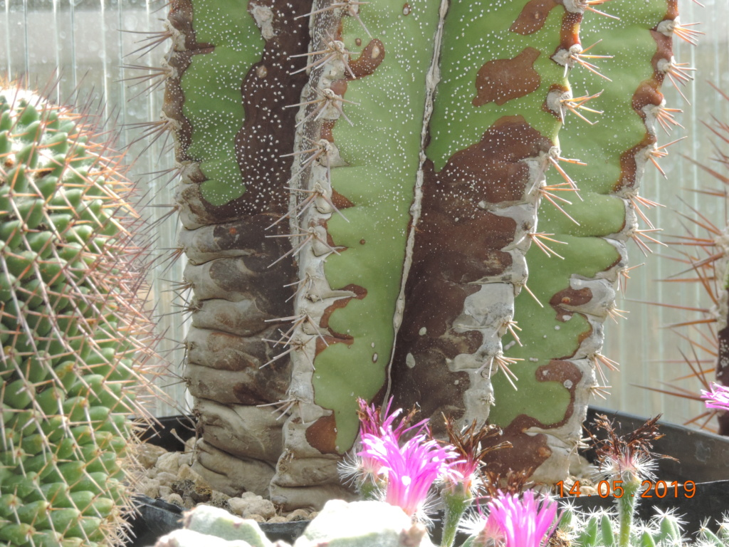 Cacti and Sukkulent in Köln, every day new flowers in the greenhouse Part 215 Bild3097