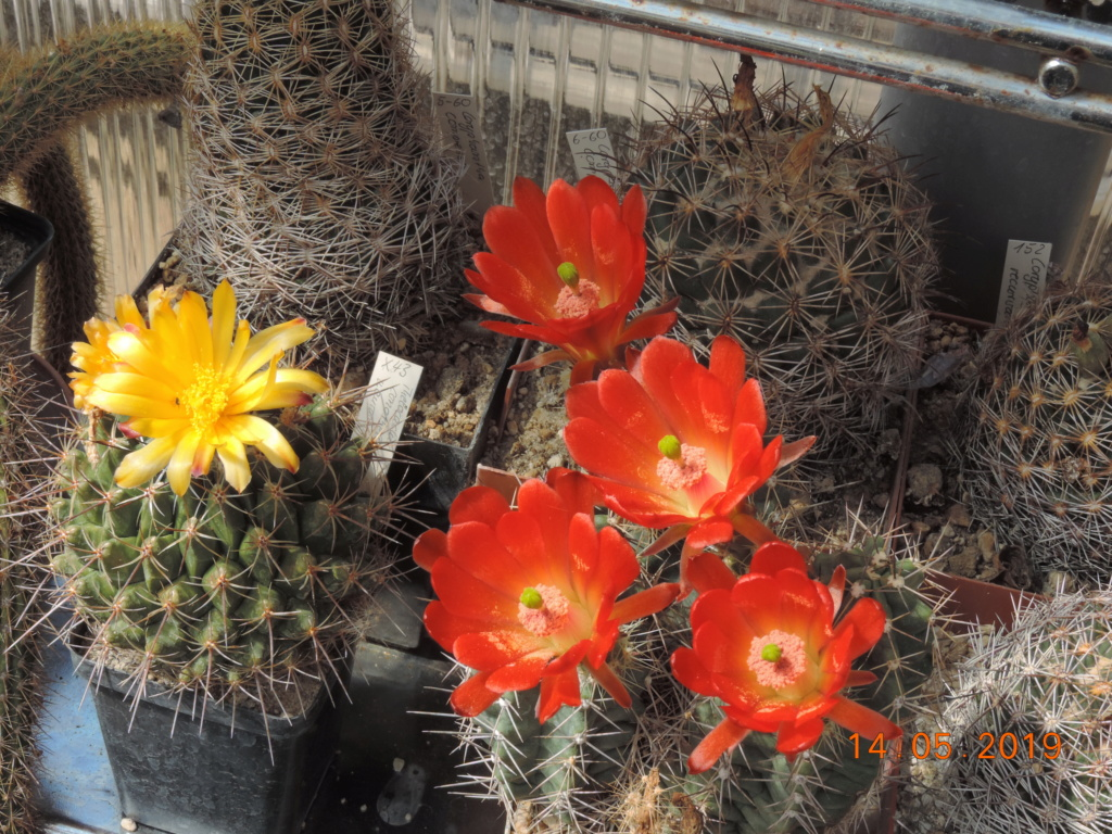 Cacti and Sukkulent in Köln, every day new flowers in the greenhouse Part 215 Bild3109