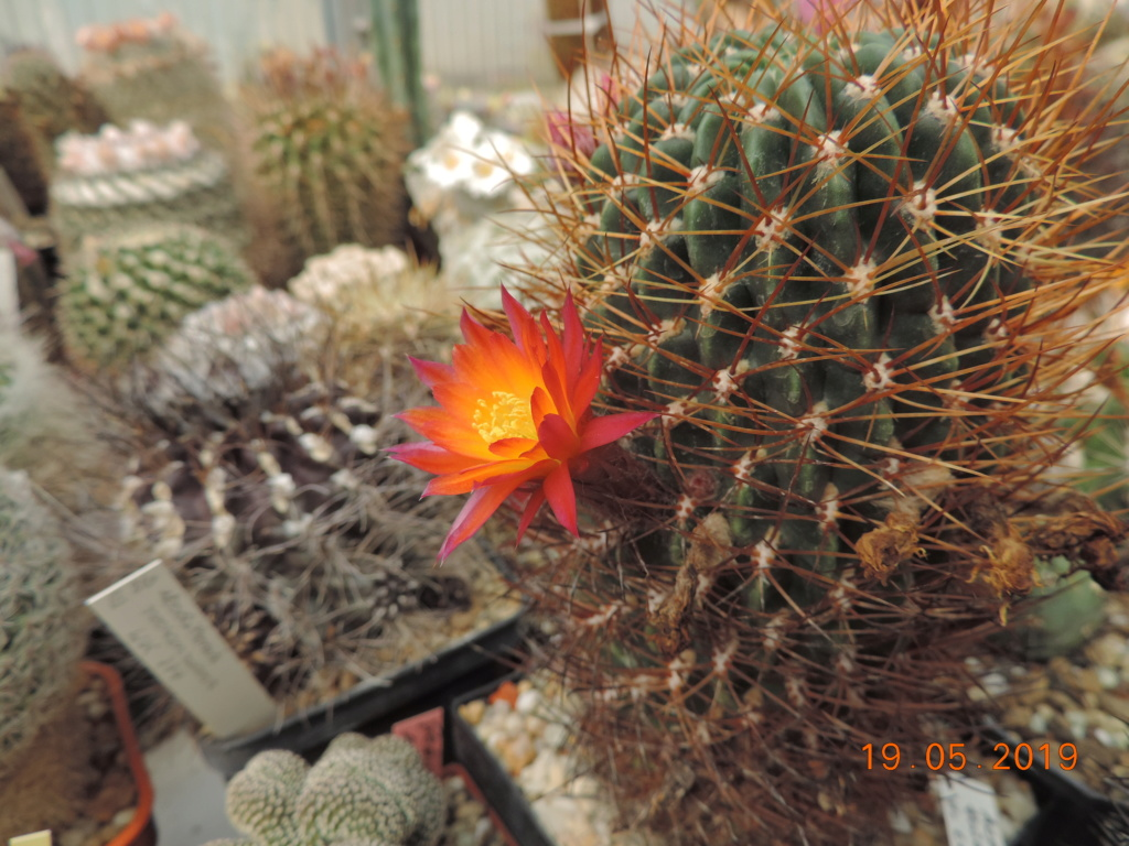 Cacti and Sukkulent in Köln, every day new flowers in the greenhouse Part 215 Bild3125