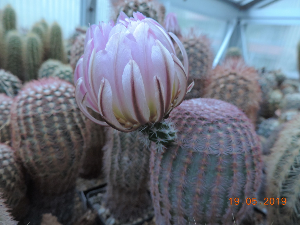 Cacti and Sukkulent in Köln, every day new flowers in the greenhouse Part 215 Bild3157