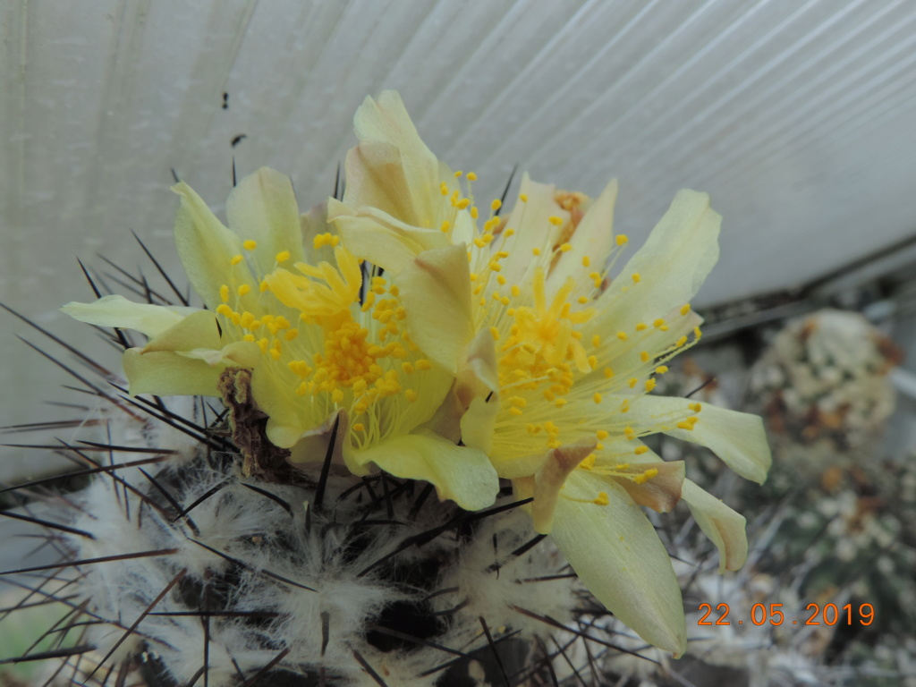 Cacti and Sukkulent in Köln, every day new flowers in the greenhouse Part 216 Bild3207