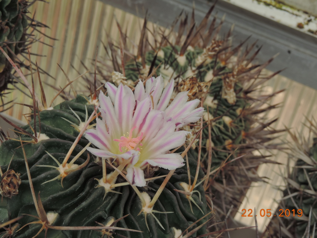 Cacti and Sukkulent in Köln, every day new flowers in the greenhouse Part 216 Bild3216