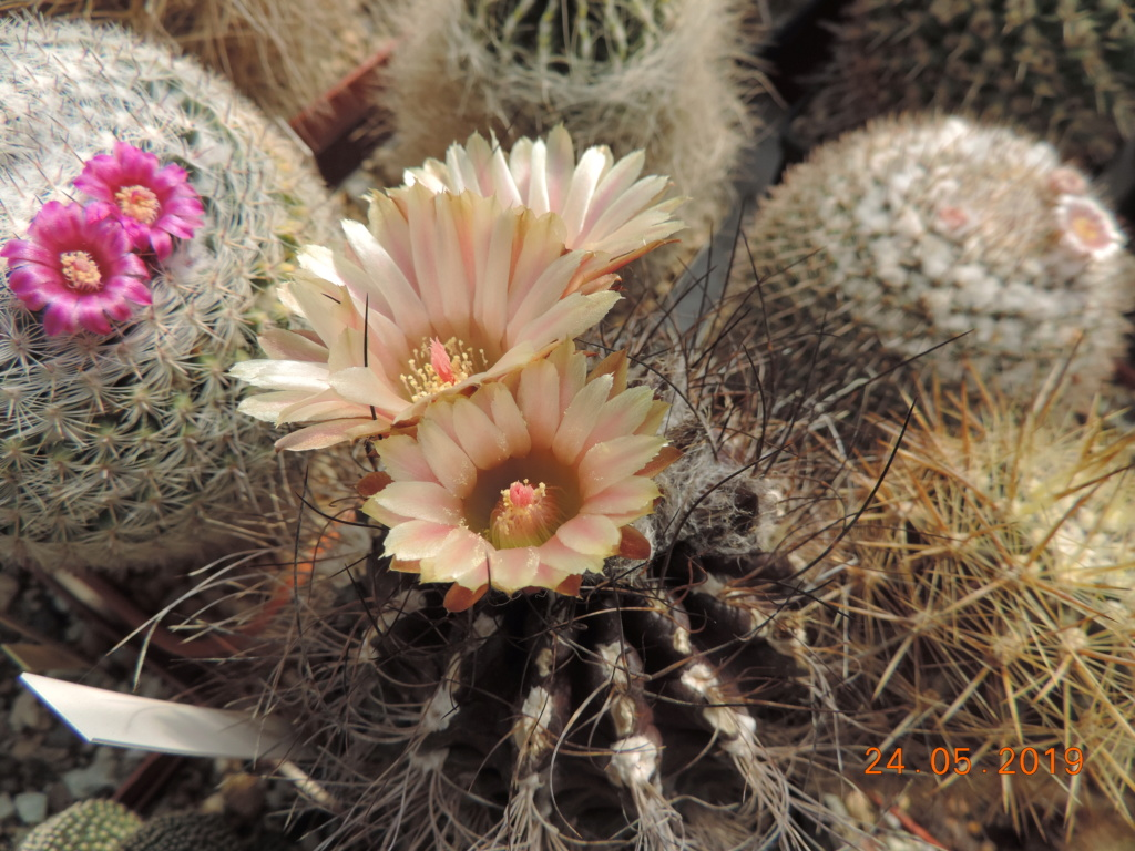 Cacti and Sukkulent in Köln, every day new flowers in the greenhouse Part 216 Bild3255