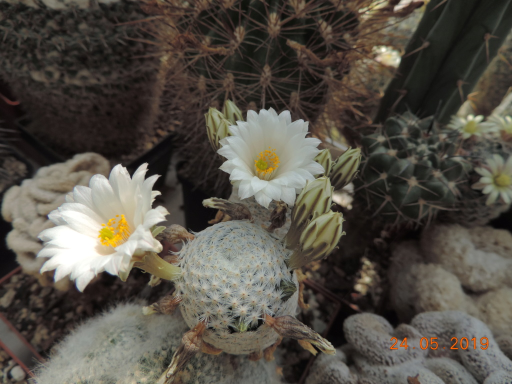Cacti and Sukkulent in Köln, every day new flowers in the greenhouse Part 216 Bild3256
