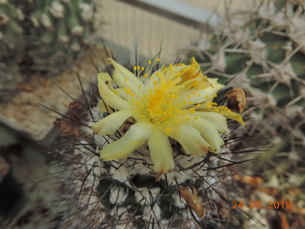 Cacti and Sukkulent in Köln, every day new flowers in the greenhouse Part 216 Bild3262