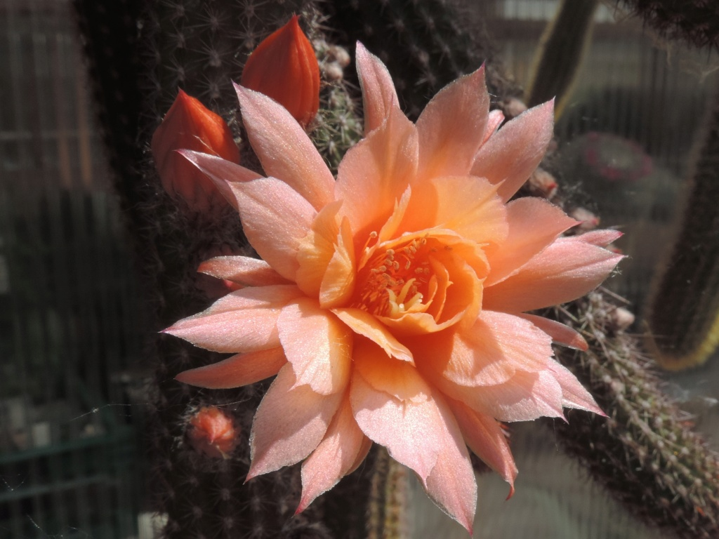 Cacti and Sukkulent in Köln, every day new flowers in the greenhouse Part 216 Bild3271