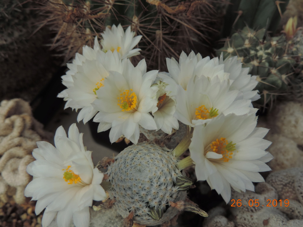 Cacti and Sukkulent in Köln, every day new flowers in the greenhouse Part 216 Bild3315