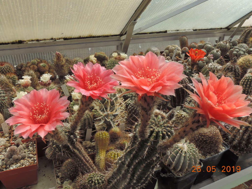 Cacti and Sukkulent in Köln, every day new flowers in the greenhouse Part 216 Bild3324