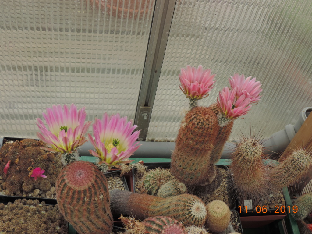 Cacti and Sukkulent in Köln, every day new flowers in the greenhouse Part 217 Bild3337