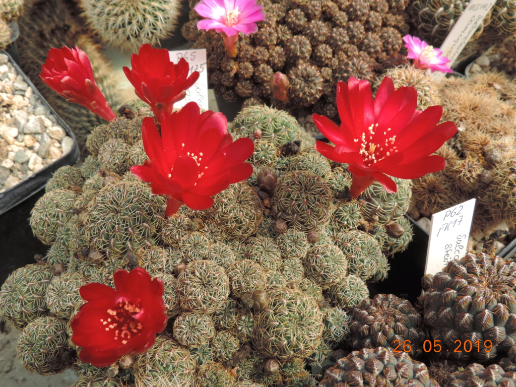 Cacti and Sukkulent in Köln, every day new flowers in the greenhouse Part 217 Bild3394