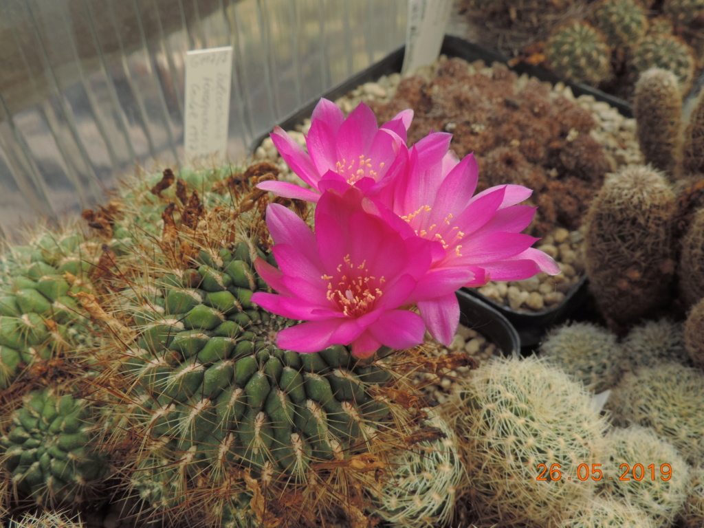 Cacti and Sukkulent in Köln, every day new flowers in the greenhouse Part 217 Bild3398