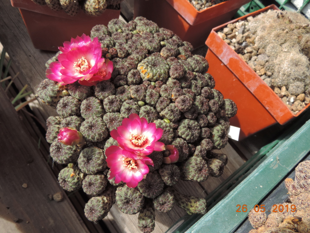 Cacti and Sukkulent in Köln, every day new flowers in the greenhouse Part 217 Bild3408