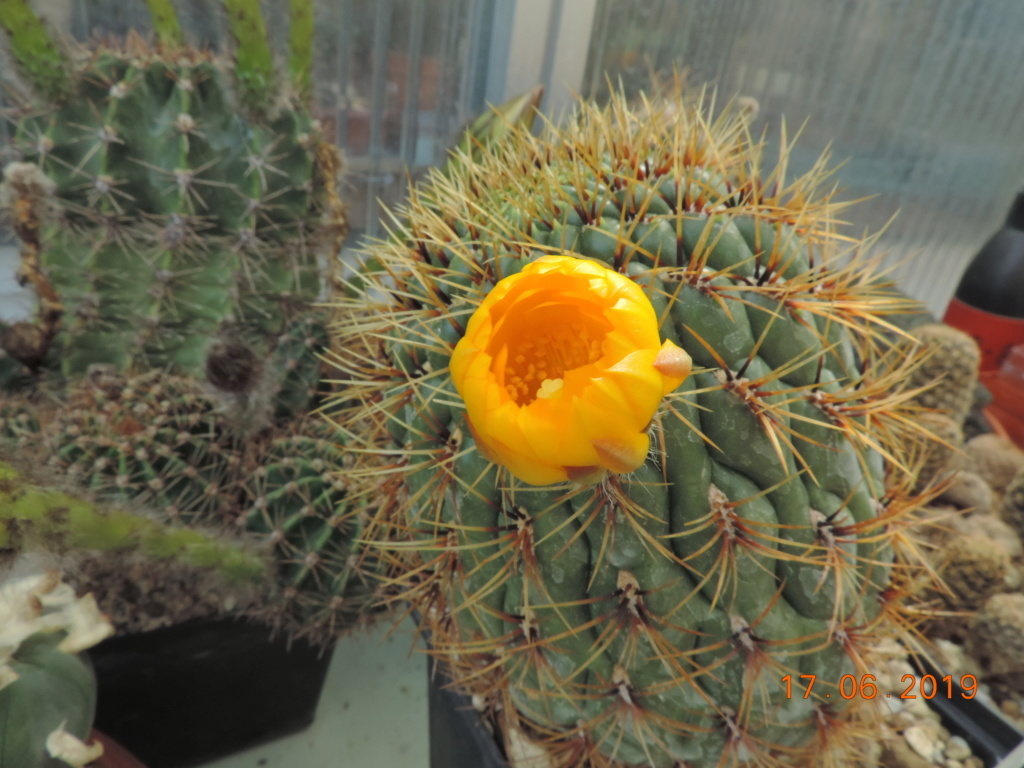 Cacti and Sukkulent in Köln, every day new flowers in the greenhouse Part 217 Bild3415