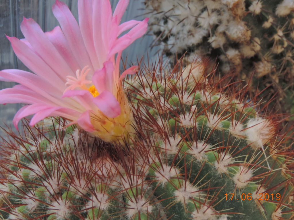 Cacti and Sukkulent in Köln, every day new flowers in the greenhouse Part 217 Bild3440