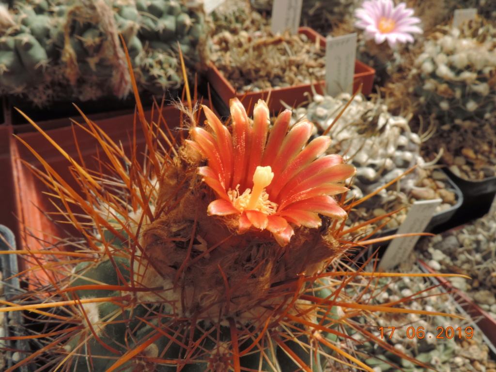 Cacti and Sukkulent in Köln, every day new flowers in the greenhouse Part 217 Bild3454