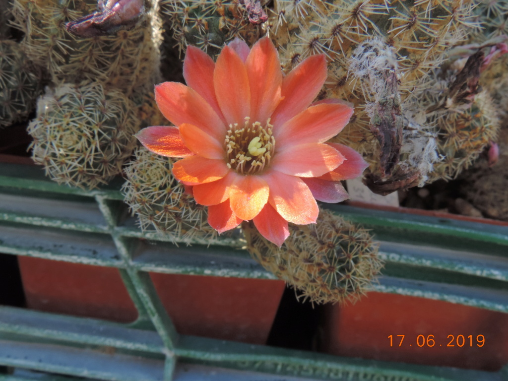 Cacti and Sukkulent in Köln, every day new flowers in the greenhouse Part 217 Bild3464