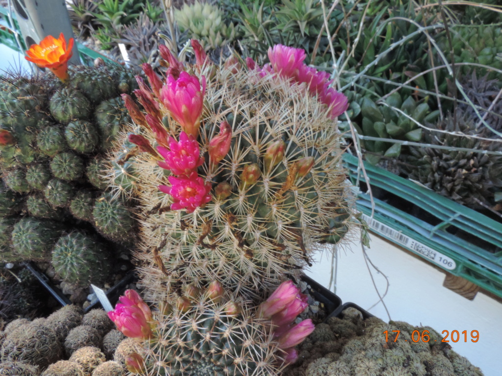 Cacti and Sukkulent in Köln, every day new flowers in the greenhouse Part 217 Bild3467