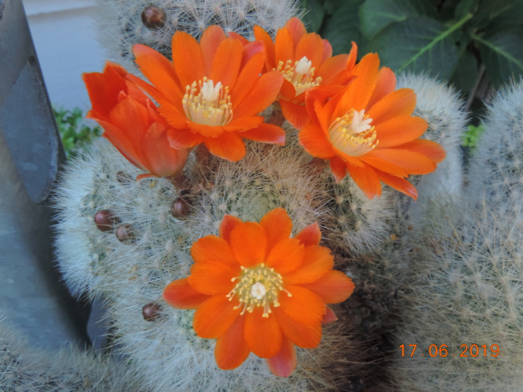 Cacti and Sukkulent in Köln, every day new flowers in the greenhouse Part 217 Bild3474