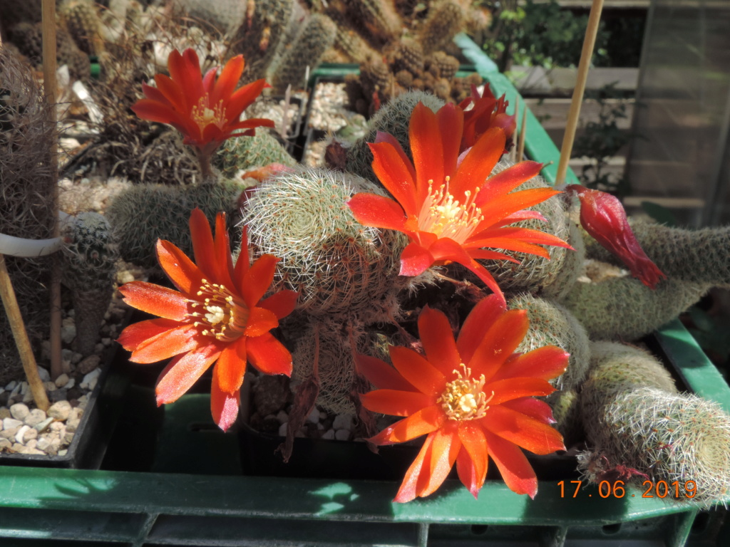 Cacti and Sukkulent in Köln, every day new flowers in the greenhouse Part 218 Bild3491