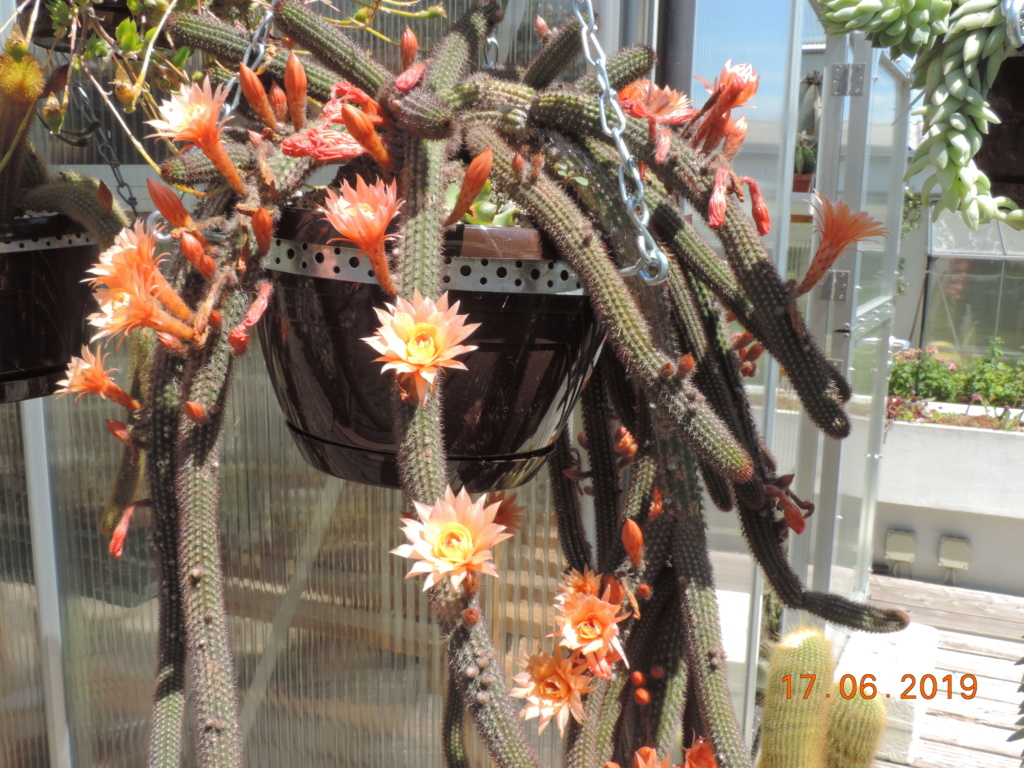 Cacti and Sukkulent in Köln, every day new flowers in the greenhouse Part 218 Bild3498