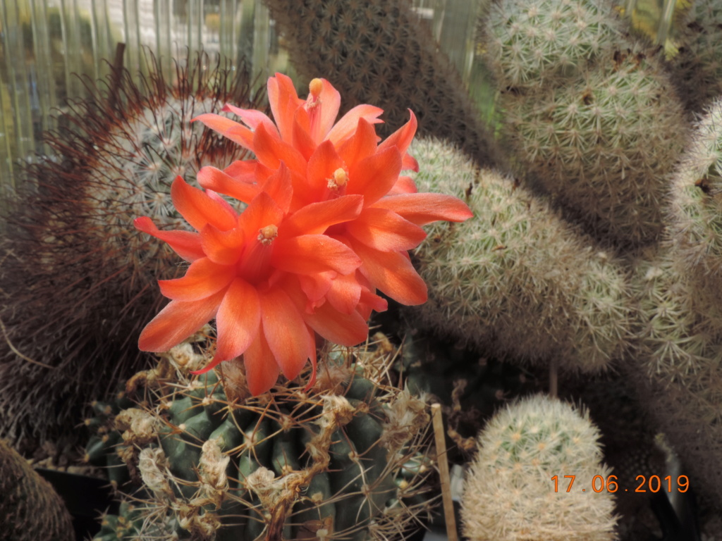 Cacti and Sukkulent in Köln, every day new flowers in the greenhouse Part 218 Bild3504