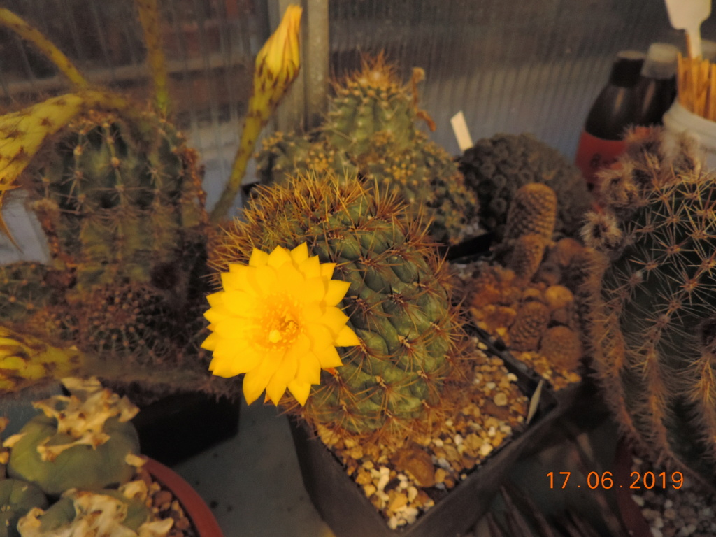 Cacti and Sukkulent in Köln, every day new flowers in the greenhouse Part 218 Bild3505