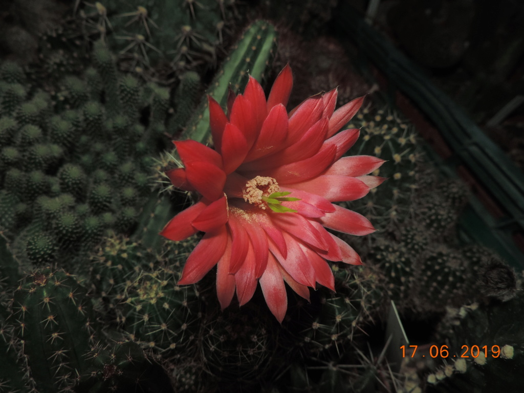 Cacti and Sukkulent in Köln, every day new flowers in the greenhouse Part 218 Bild3506