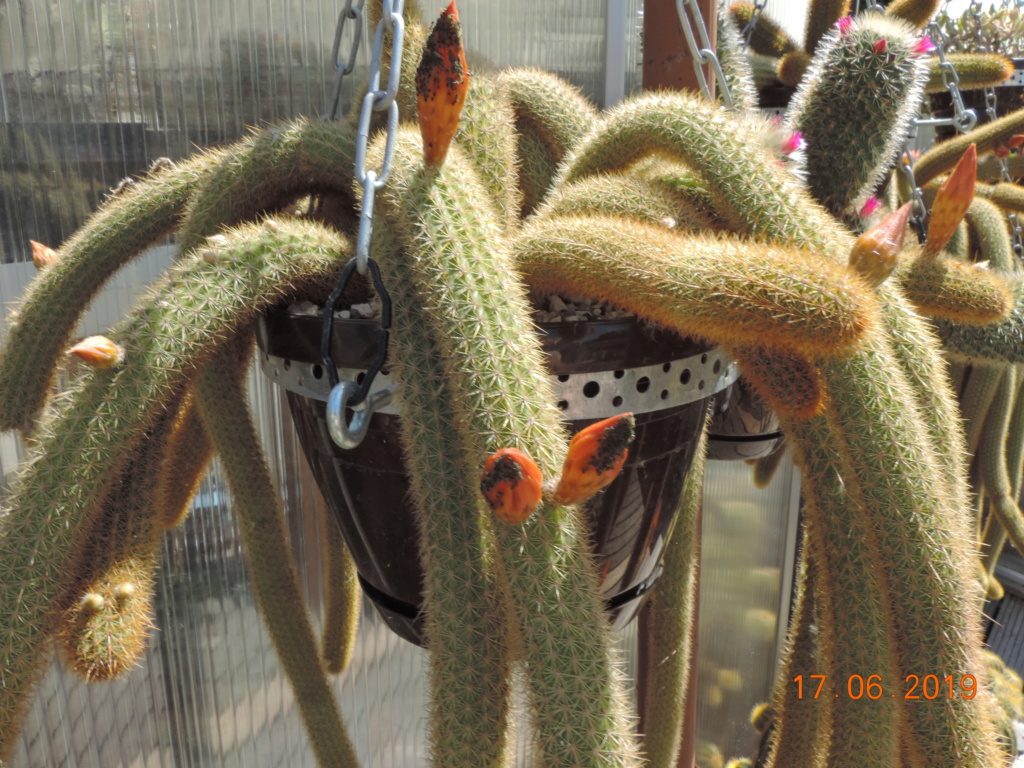 Cacti and Sukkulent in Köln, every day new flowers in the greenhouse Part 218 Bild3509