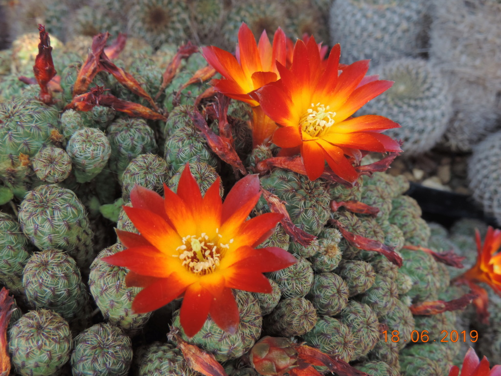 Cacti and Sukkulent in Köln, every day new flowers in the greenhouse Part 218 Bild3524