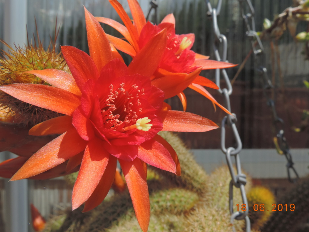 Cacti and Sukkulent in Köln, every day new flowers in the greenhouse Part 218 Bild3527