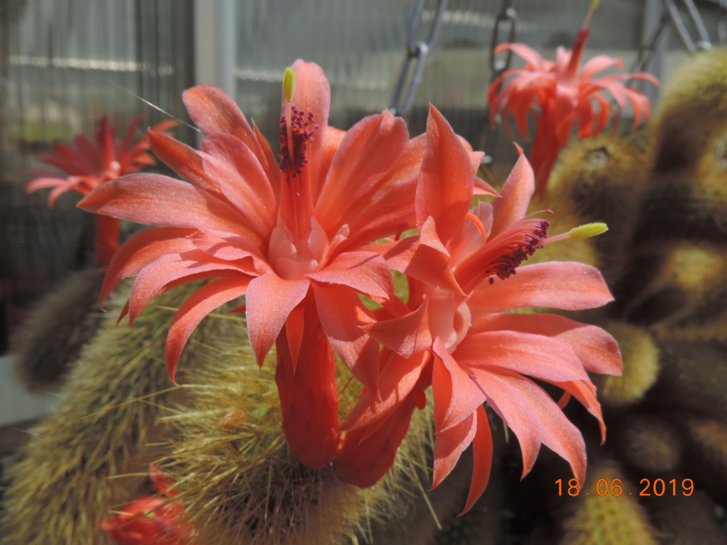 Cacti and Sukkulent in Köln, every day new flowers in the greenhouse Part 218 Bild3528