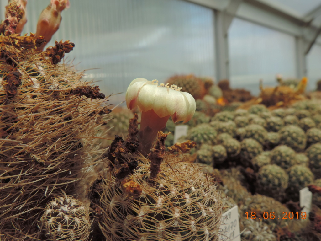 Cacti and Sukkulent in Köln, every day new flowers in the greenhouse Part 218 Bild3533