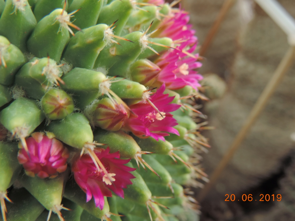 Cacti and Sukkulent in Köln, every day new flowers in the greenhouse Part 218 Bild3570