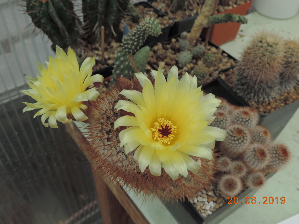 Cacti and Sukkulent in Köln, every day new flowers in the greenhouse Part 218 Bild3590