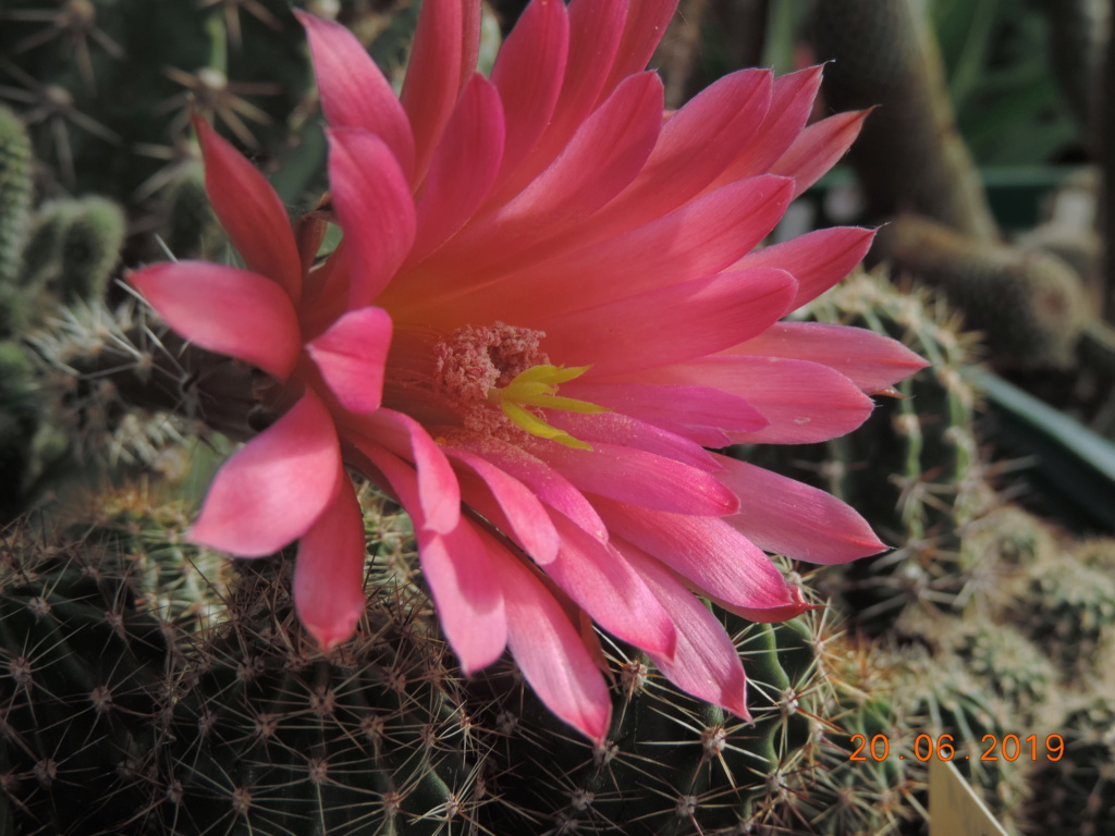 Cacti and Sukkulent in Köln, every day new flowers in the greenhouse Part 218 Bild3603