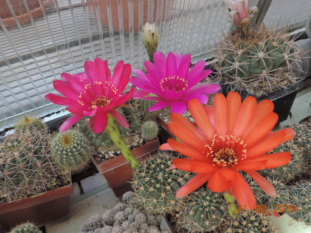 Cacti and Sukkulent in Köln, every day new flowers in the greenhouse Part 219 Bild3605