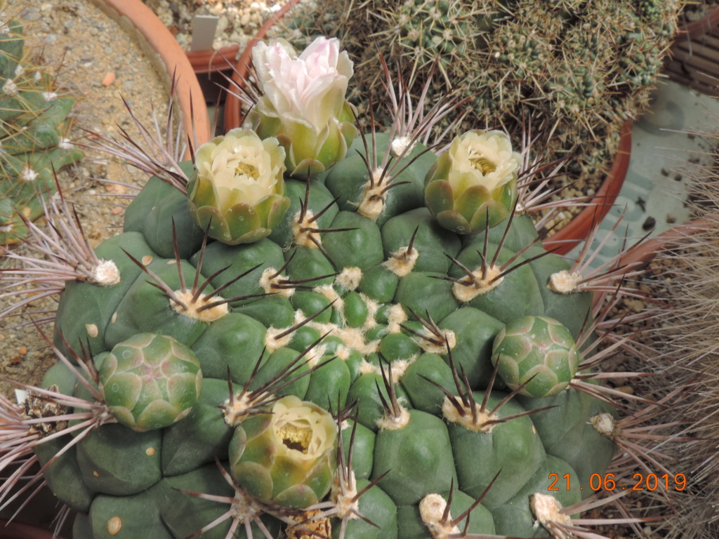 Cacti and Sukkulent in Köln, every day new flowers in the greenhouse Part 219 Bild3653