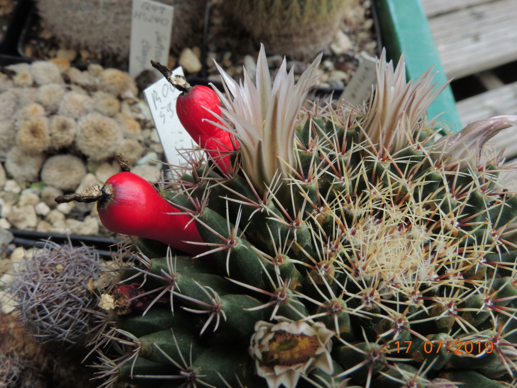 Cacti and Sukkulent in Köln, every day new flowers in the greenhouse Part 220 Bild3763