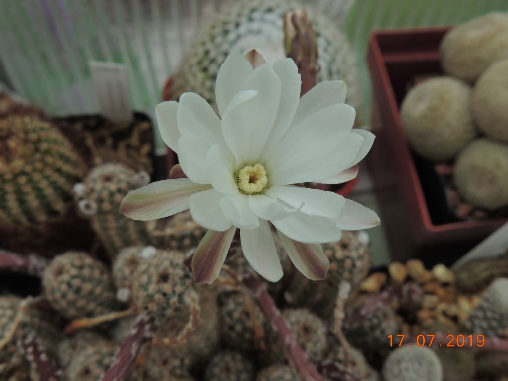 Cacti and Sukkulent in Köln, every day new flowers in the greenhouse Part 220 Bild3775