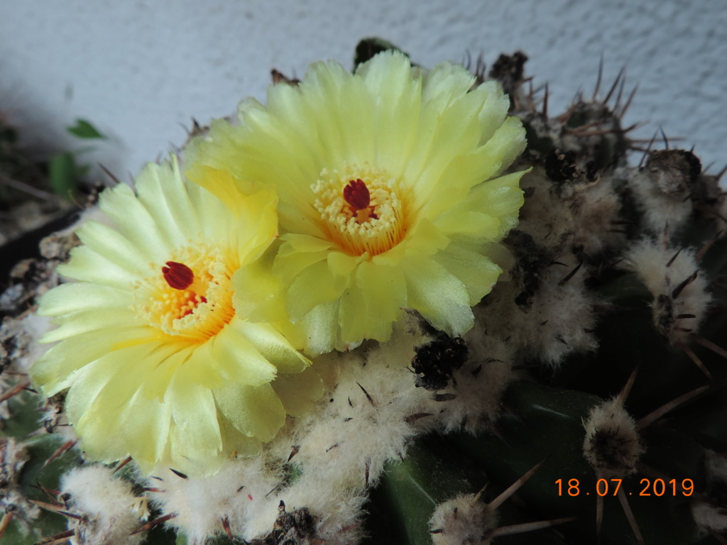 Cacti and Sukkulent in Köln, every day new flowers in the greenhouse Part 220 Bild3796