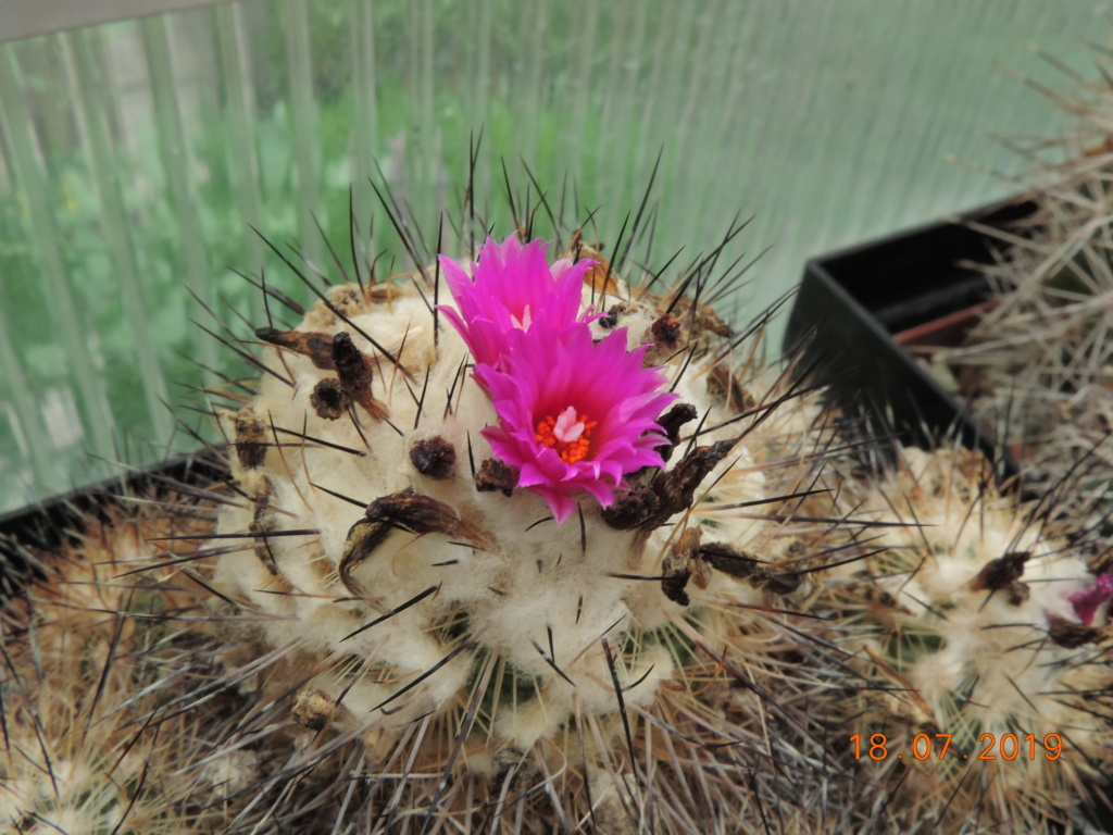 Cacti and Sukkulent in Köln, every day new flowers in the greenhouse Part 220 Bild3837